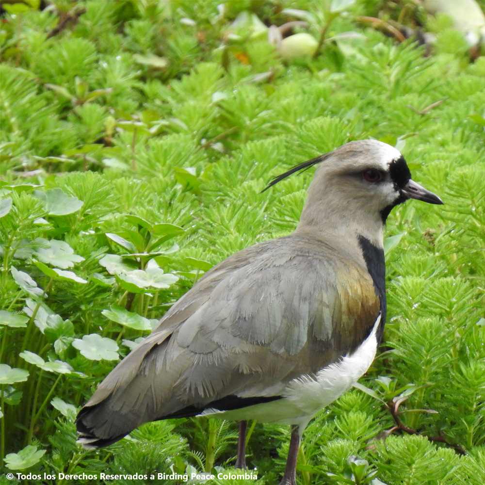 Southern-Lapwing-Vanellus-chilensis